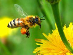 L'abeille qui tourne autours de vous